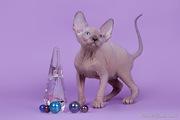 Продажа котят породы канадский сфинкс.