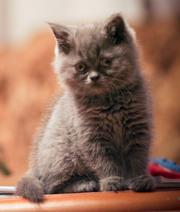 Аренда кошки